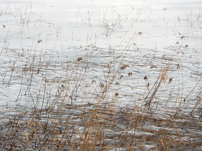 Замороженные озеро и тростники стоковая фотография