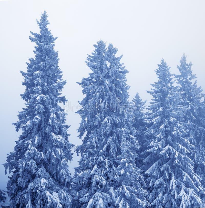 Замороженные покрытые снег ели в волшебном лесе после снежностей стоковое изображение rf
