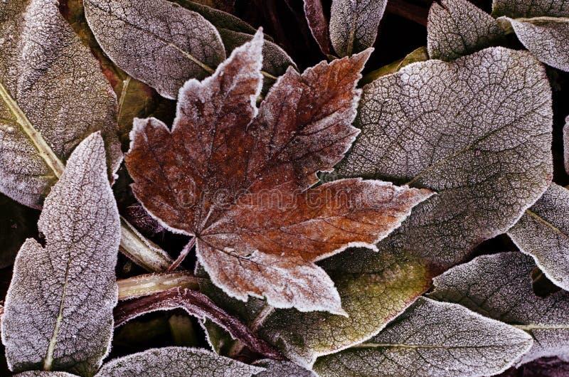 Замороженные сухие листья осени Предпосылка зимы естественная стоковая фотография