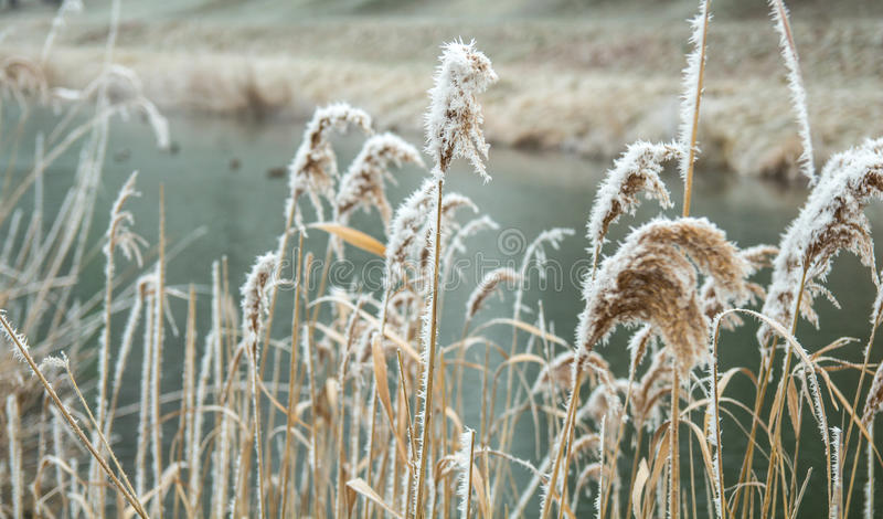 Замороженные тростники в воде в ветре зимы стоковые фото