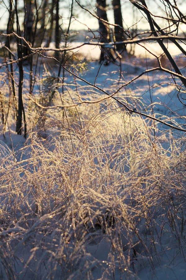 Замороженные тростники и хворостины, концепция сезона зимы стоковая фотография