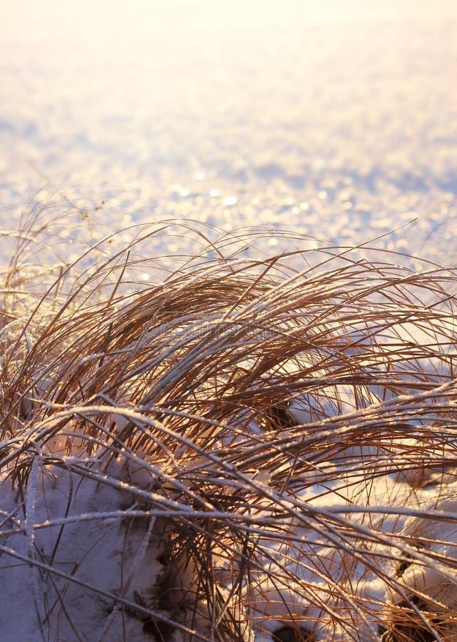 Замороженные тростники, концепция сезона зимы стоковое фото