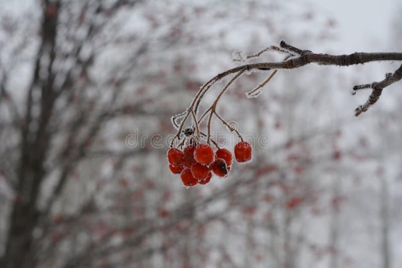 Замороженные ягоды рябины на запачканной предпосылке Сцена зимы стоковые изображения