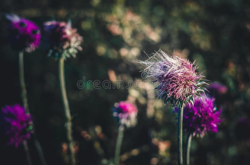 Замороженный ветер в цветке чертополоха thistle Восход солнца лета в бутоне полевых цветков r стоковые фотографии rf