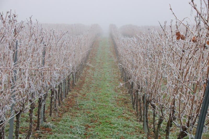 замороженный виноградник стоковое изображение rf