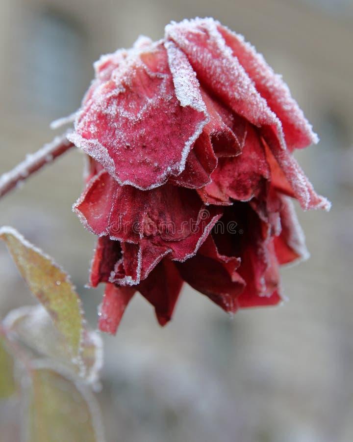 замороженный красный цвет поднял стоковые изображения rf