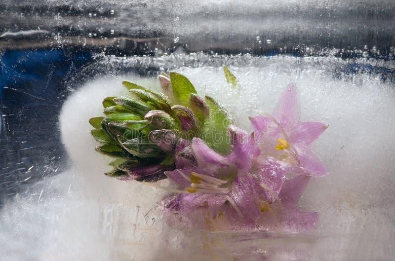 Замороженный розовый цветок лилии подорожника стоковые изображения