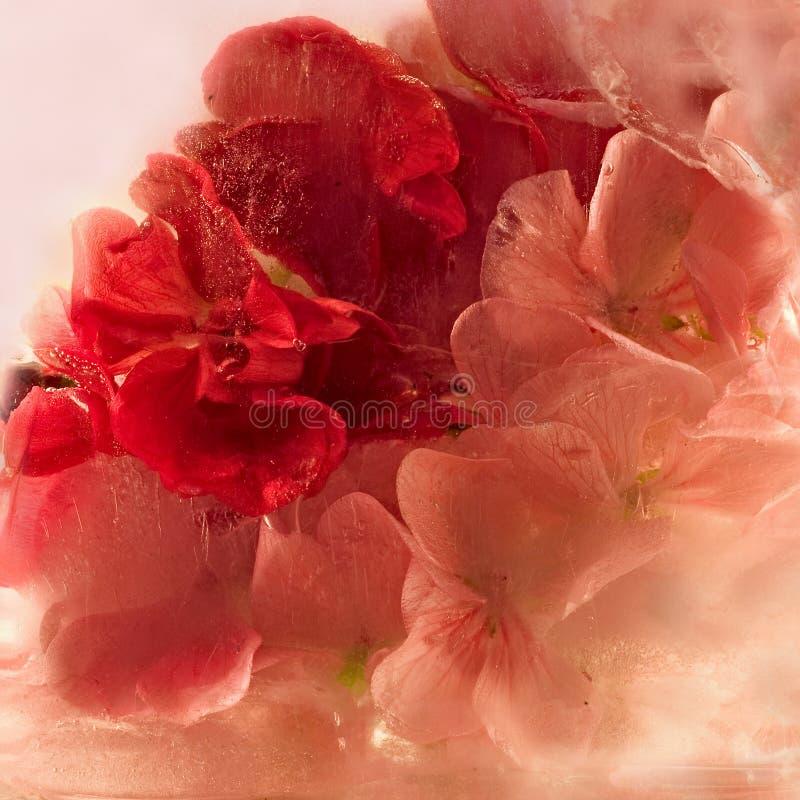Замороженный розовый цветок пеларгонии стоковое изображение rf