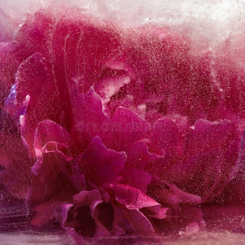 Замороженный розовый цветок пиона стоковые изображения