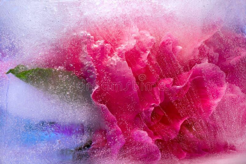 Замороженный розовый цветок пиона стоковое изображение rf
