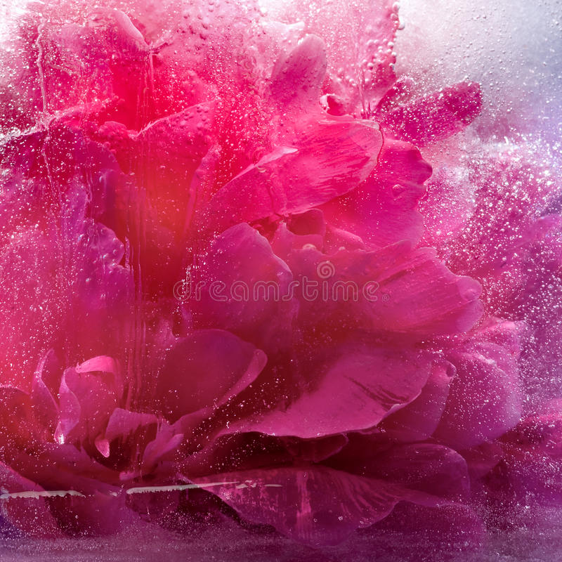 Замороженный розовый цветок пиона стоковое изображение