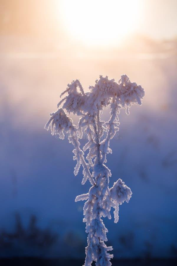 Замороженный сухой завод на утре зимы туманном в художественной настройке минимализма с выборочным фокусом стоковая фотография rf