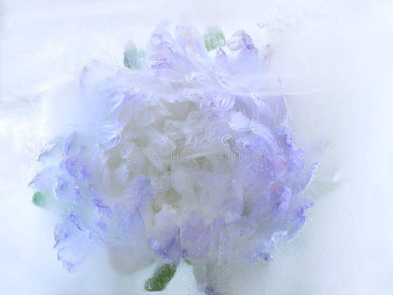 Замороженный цветок астры стоковое фото rf