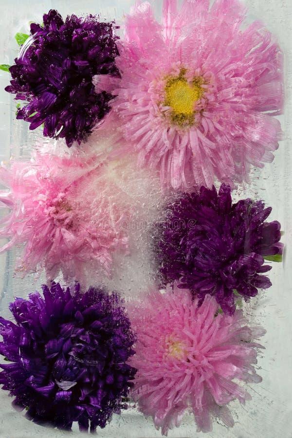 Замороженный цветок астры стоковое изображение rf