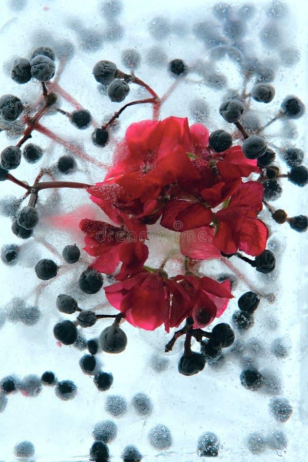 Замороженный цветок пеларгонии стоковое изображение rf
