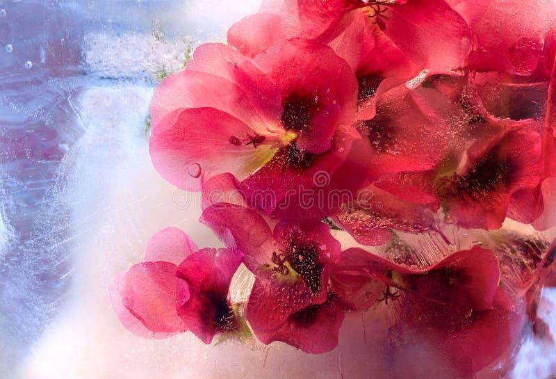 Замороженный цветок пеларгонии стоковая фотография