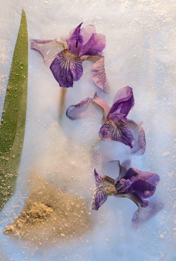 Замороженный цветок радужки стоковое изображение rf