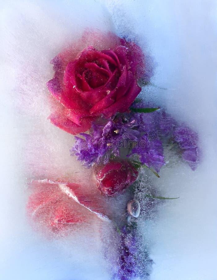 Замороженный цветок розы красного цвета стоковое фото rf