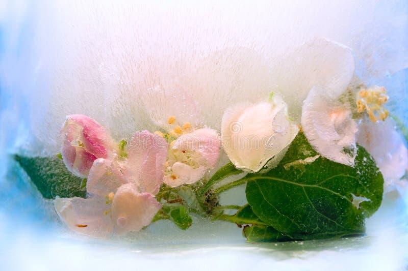 Замороженный цветок яблока стоковые фотографии rf