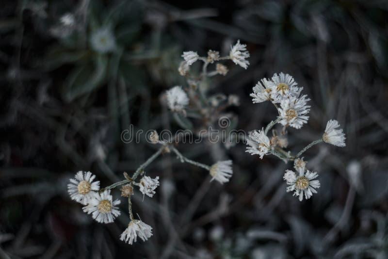 Заморозки утра на цветках стоцветов поля в поле стоковые изображения rf