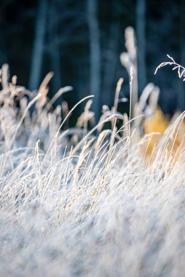 заморозок покрыл листья травы и дерева в солнечном свете утра зимы стоковая фотография rf