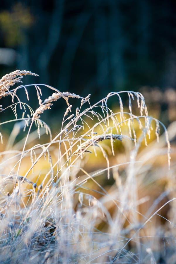 заморозок покрыл листья травы и дерева в солнечном свете утра зимы стоковая фотография
