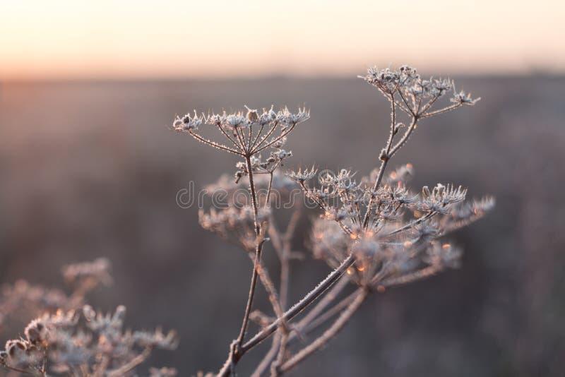 Заморозок утра на заводах поля в осени в октябре стоковые фотографии rf