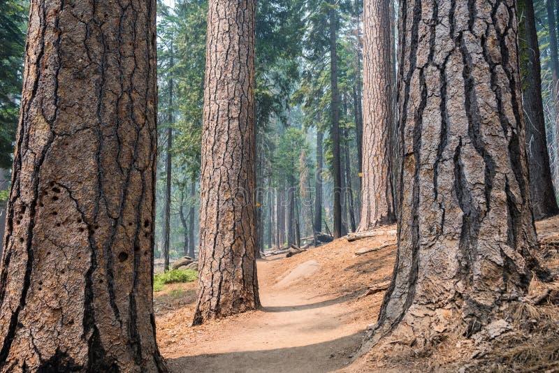 Замотка пути через сосновый лес стоковое изображение rf
