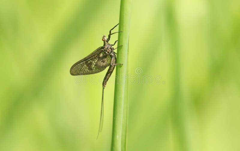 Заново вытекаенное vulgata Ephemera подёнки садясь на насест на стержне травы стоковые изображения rf