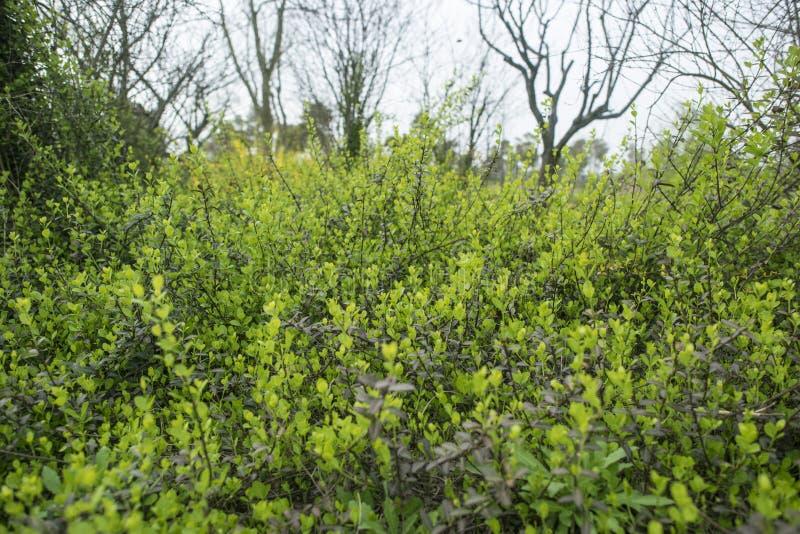 Заново, который выросли зеленые кусты с несколькими небольших деревьев позади стоковые фотографии rf