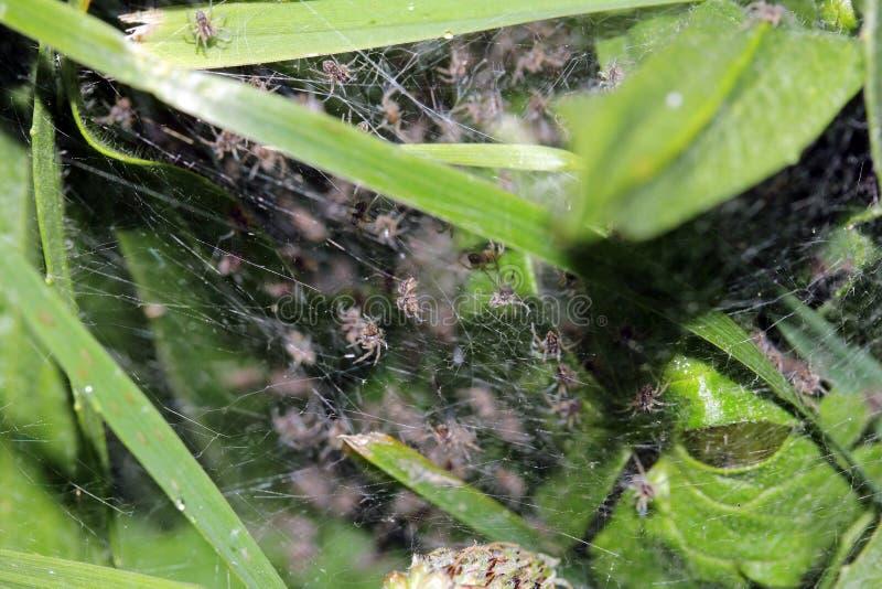 Заново насиженные пауки младенца стоковые фото