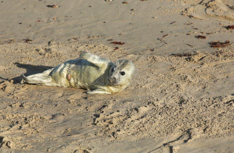 Заново принесенное серое grypus Halichoerus щенка уплотнения лежа на пляже на Horsey, Норфолке, Великобритании стоковое изображение rf