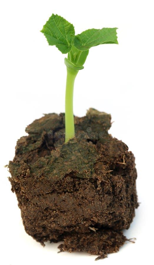 Заново принесенный саженец зеленого momordica стоковые изображения