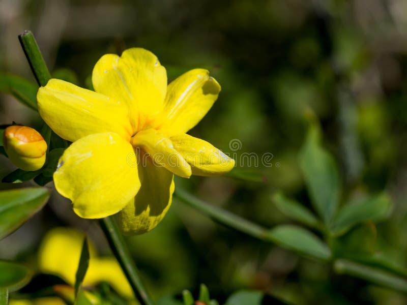 Заново раскрытый желтый цветок и зеленая предпосылка стоковое изображение rf