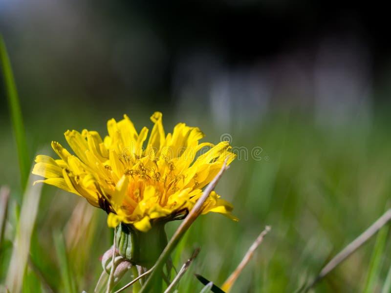 Заново раскрытый желтый цветок и зеленая предпосылка стоковое фото rf