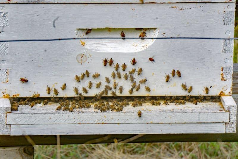 Занятое крапивницы пчелы стоковая фотография