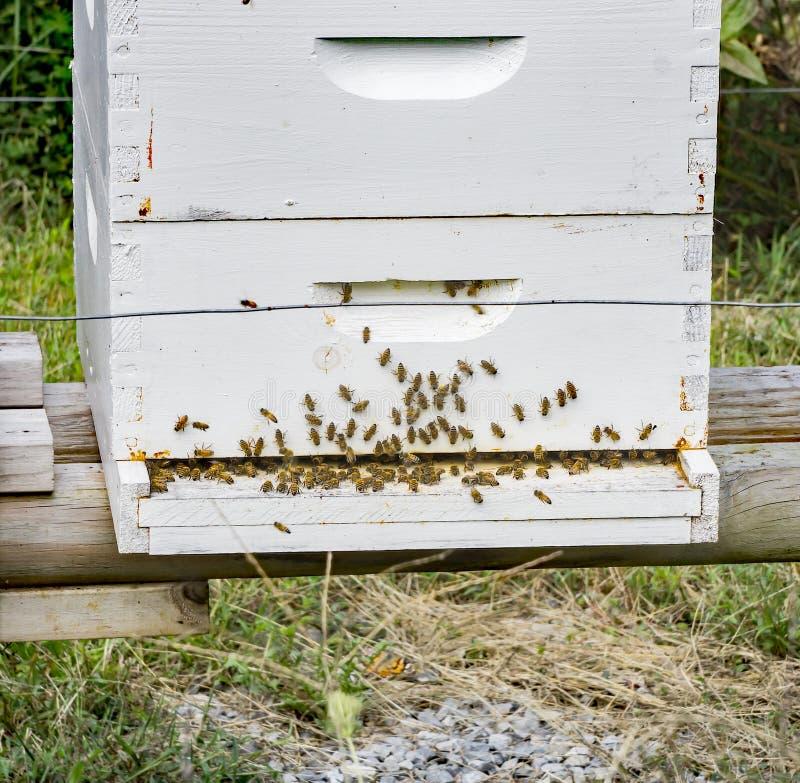 Занятое крапивницы пчелы стоковая фотография rf