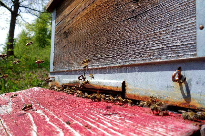 Занятые пчелы входя в перед крапивницей стоковые изображения