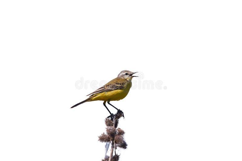 Западная желтая трясогузка сидит на ветви при изолированные колючки стоковое фото rf