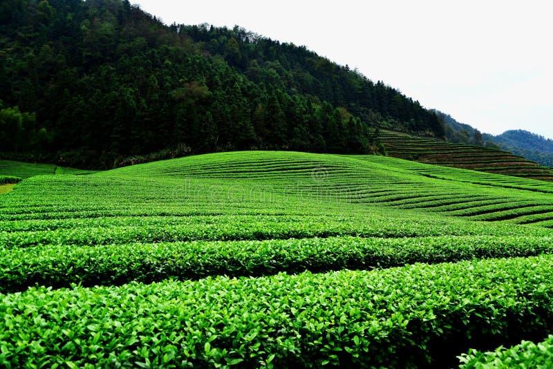 Западное озеро Лунцзин-Теа, Ханчжоу, Китай стоковое изображение rf