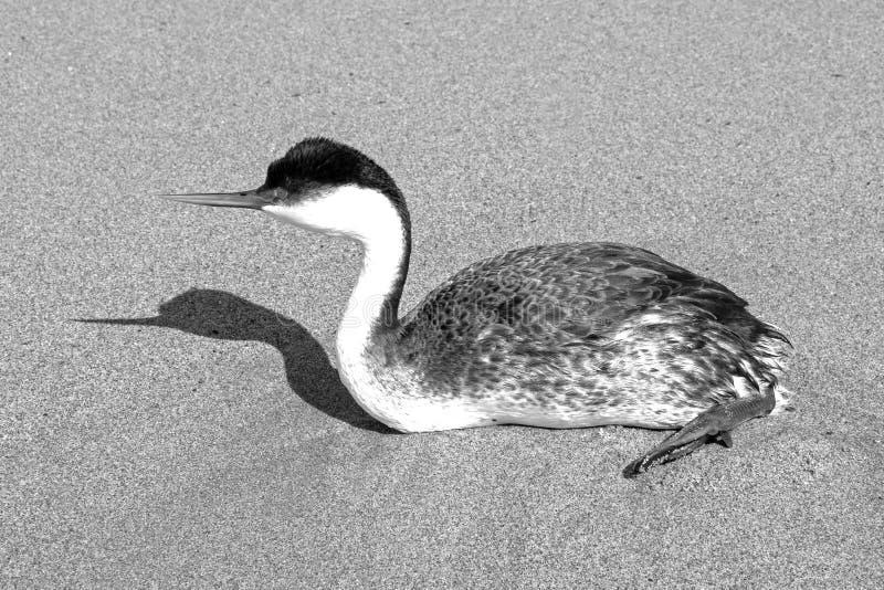 Западные поганковые и тень на пляже в Вентуре Калифорния Соединенных Штатах - черно-белых стоковые изображения rf
