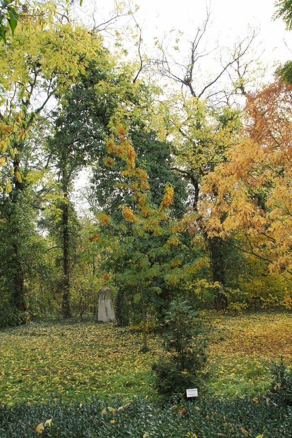 Западный красный кедр - plicata туи на ботаническом саде стоковые фотографии rf