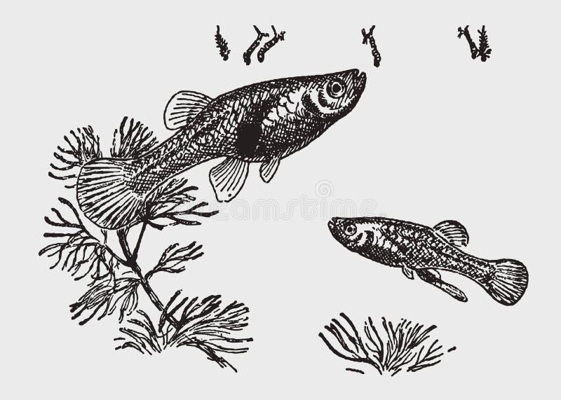 2 западных affinis gambusia mosquitofishes атакуя личинок москита на поверхность воды бесплатная иллюстрация