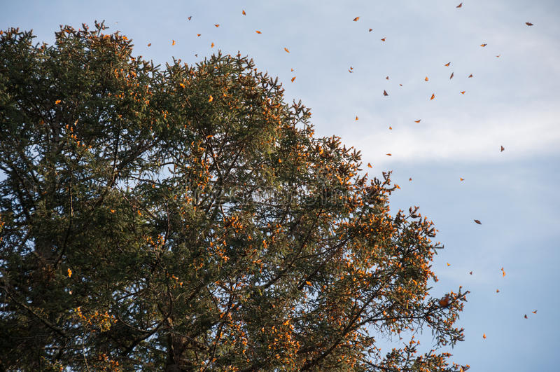 Запас биосферы бабочки монарха, Michoacan (Мексика) стоковые фотографии rf