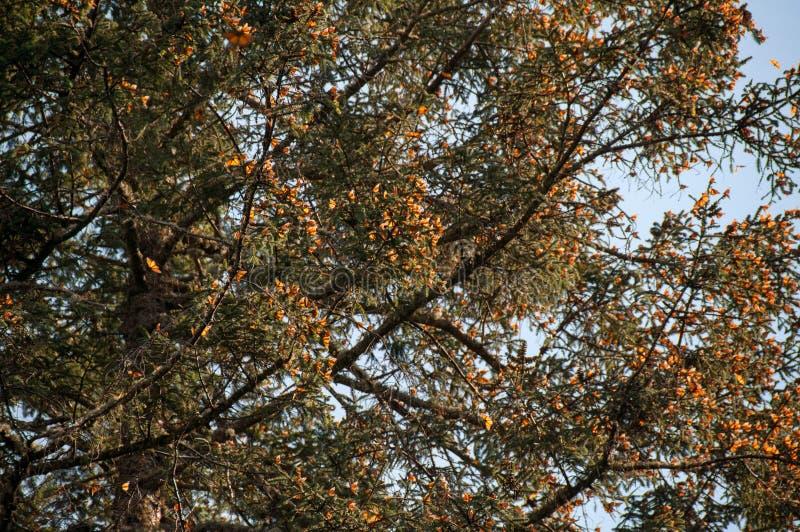 Запас биосферы бабочки монарха, Michoacan (Мексика) стоковая фотография rf