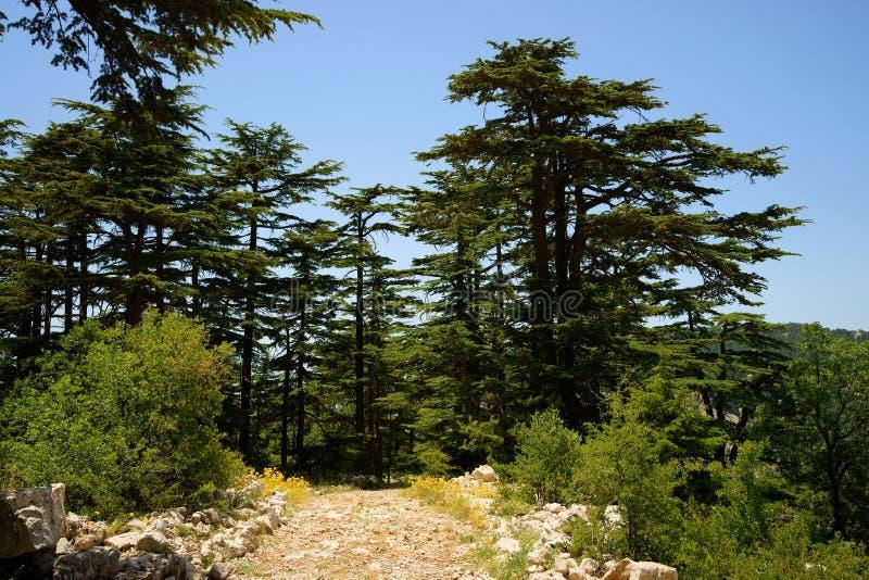 Запас кедра, Tannourine, Ливан стоковая фотография