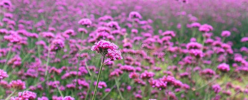 Запачкайте зацветая предпосылку цветка вербены стоковые фотографии rf