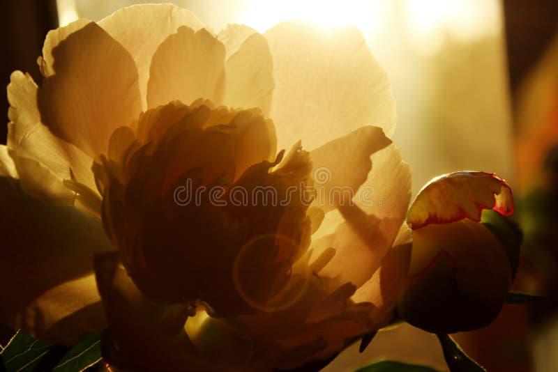 Запачканная подрезанная съемка розового цветка Цветок пиона, закрывает вверх Цветочный узор со светлым - розовый цветок пиона стоковое изображение