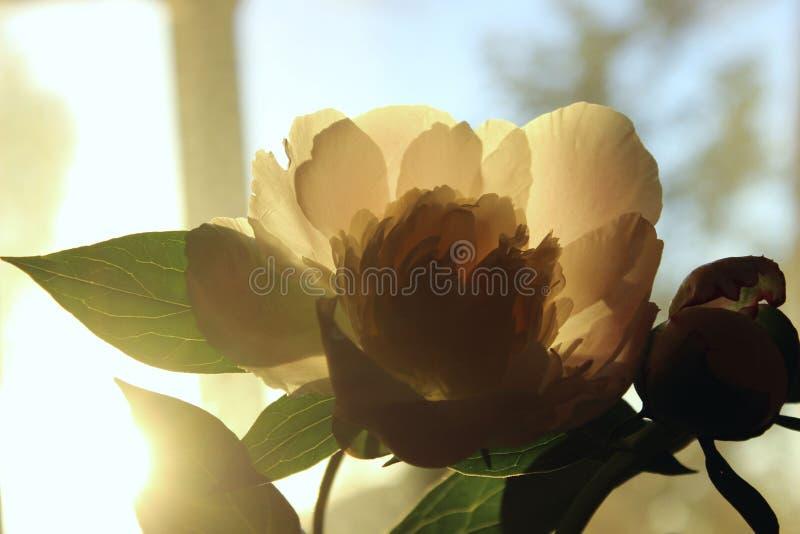 Запачканная подрезанная съемка розового цветка Цветок пиона, закрывает вверх Цветочный узор со светлым - розовый цветок пиона Мяг стоковое фото