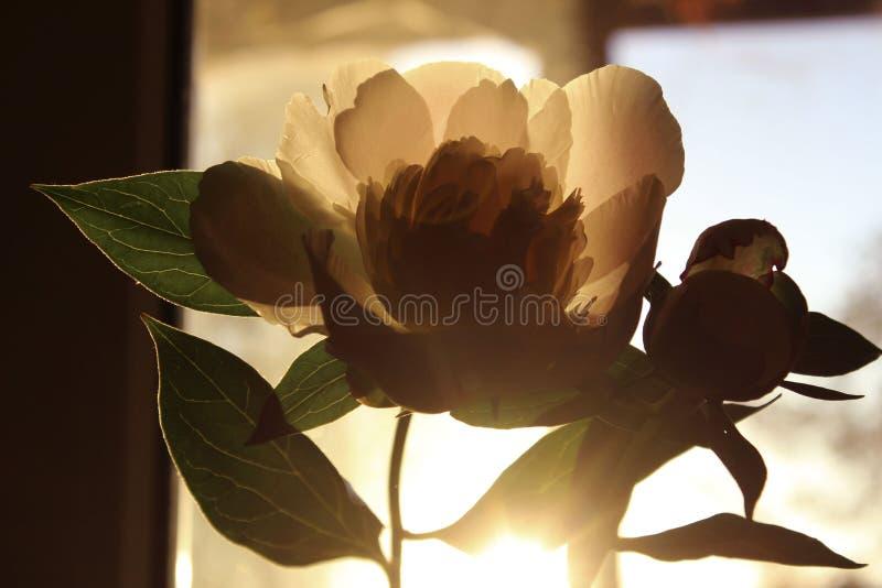 Запачканная подрезанная съемка розового цветка Цветок пиона, закрывает вверх Цветочный узор со светлым - розовый цветок пиона Мяг стоковое изображение